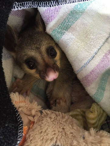 Annie Orphaned Brushtail Possum - Toowoomba Koala and Wildlife Rescue